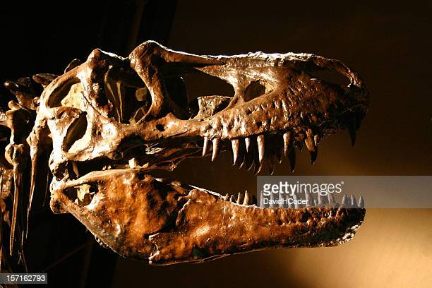 t-rex dinosaur skull, sharp teeth abound! - tyrannosaurus rex stock photos and pictures