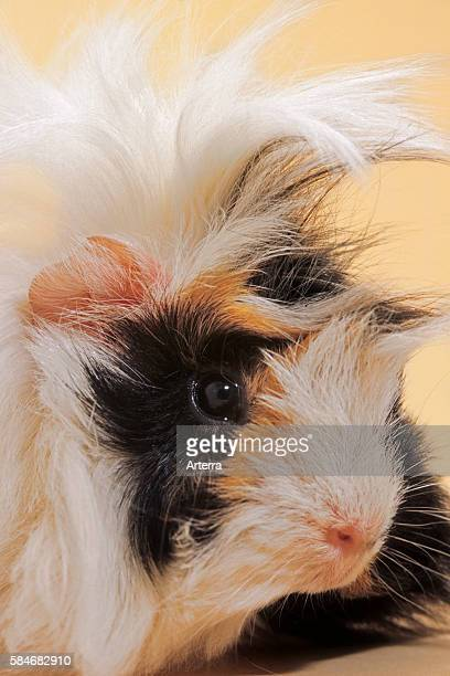 Tri particolored roughcoated cavy / guinea pig portrait