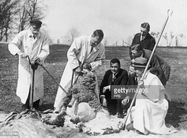 A trial of the new automatic sheep shearing machine at the government's agricultural experimenting station at Beltsville Maryland circa 1927 Senator...