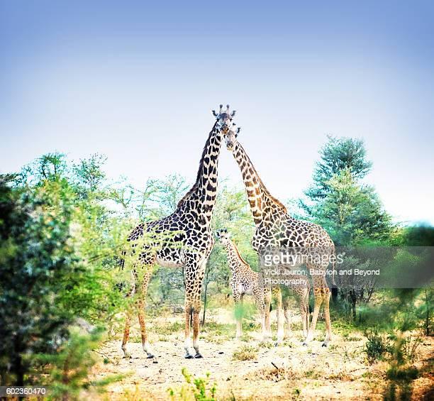 Triangle of Giraffe in Tarangire National Park, Tanzania