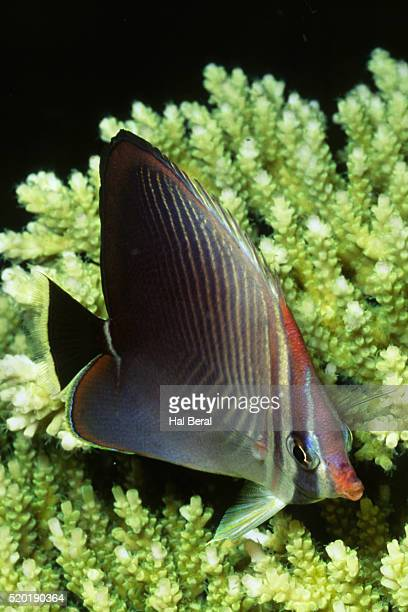 Triangular Butterfly fish