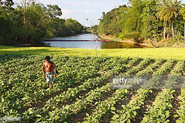 tribal farmer in tripura, spraying his crop with pesticides - tripura state stock pictures, royalty-free photos & images