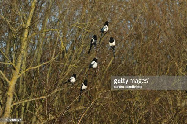 a tribe of stunning magpie, pica pica, perching in a hawthorn tree. - perching stock pictures, royalty-free photos & images
