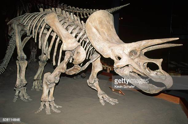 triceratops dinosaur fossil - animal skeleton stock photos and pictures