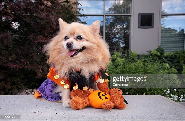 trick or treat - lap dog stock pictures, royalty-free photos & images