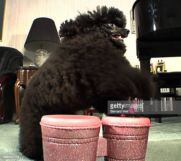 TrickDog Sparkle a miniature poodle owned by Sharon Robinson plays bongo drums October 7 2009 Robinson claims Sparkle can do 900 tricks Bernard Weil...