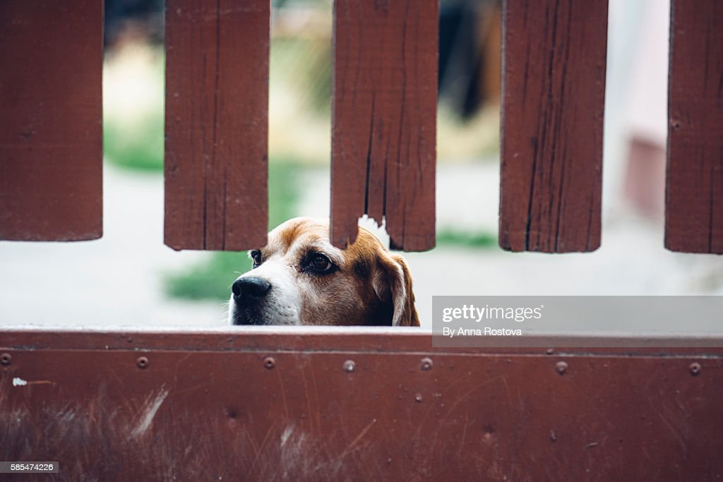 Tricolor beagle dog looking out from behind brown wooden fence : Stock Photo