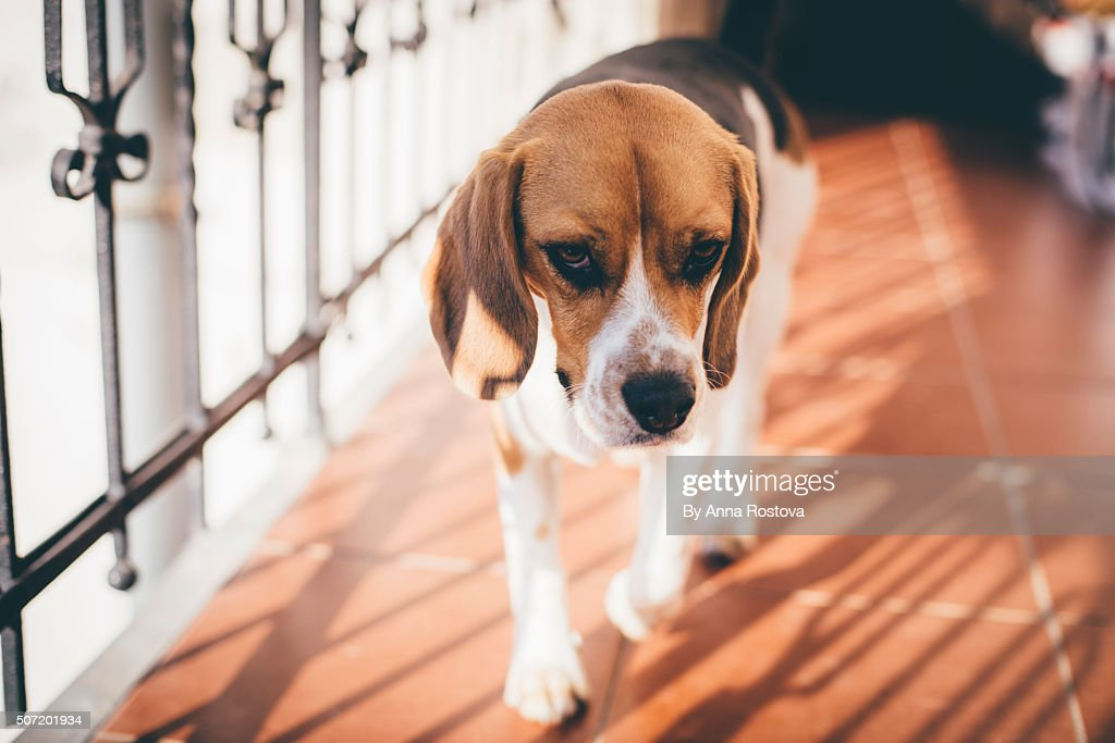 Tricolor beagle dog walking along wrought-iron fencing of balcony : Stock Photo