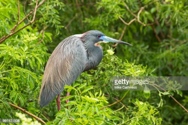 tricolor heron - mike caithness stock pictures, royalty-free photos & images