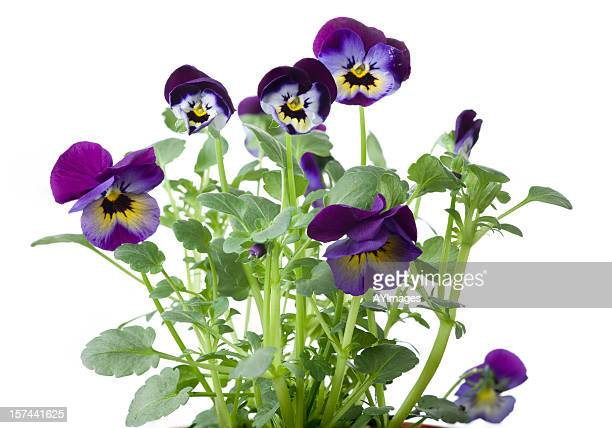 tricolor pansies on white background - pansy stock pictures, royalty-free photos & images