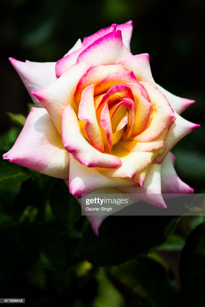 Tricolor Rose High-Res Stock Photo - Getty Images