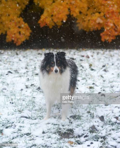 tricolor shetland sheepdog (sheltie) outside in the snow - young hairy pics stock photos and pictures