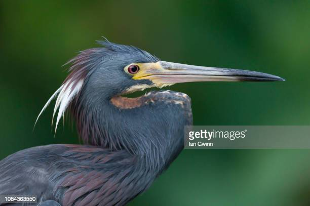 tri-colored heron - ian gwinn stock photos and pictures