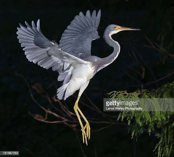 tricolored heron - delray beach stock pictures, royalty-free photos & images