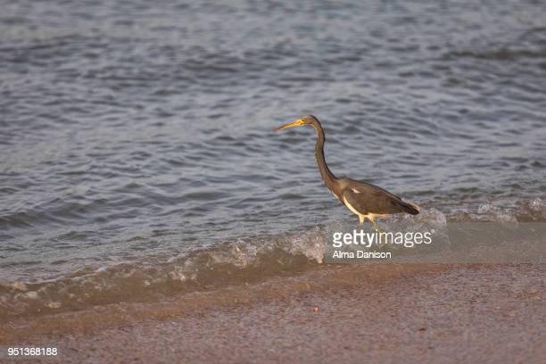 tricolored heron - alma danison - fotografias e filmes do acervo