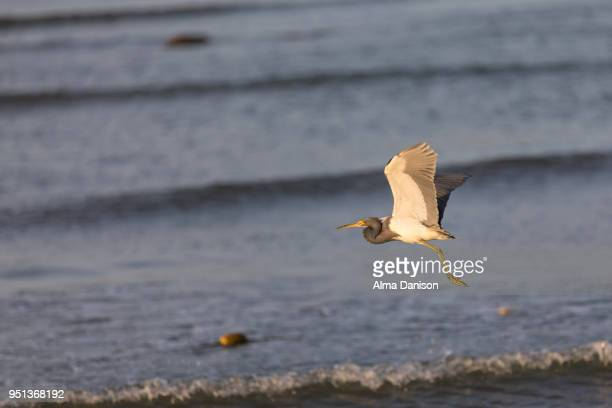 tricolored heron - alma danison stock-fotos und bilder