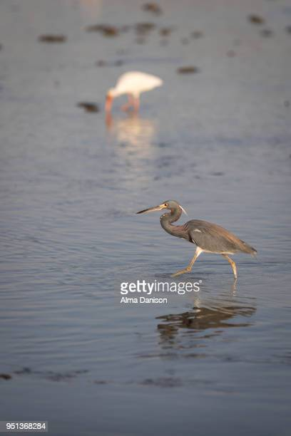 tricolored heron - alma danison stock photos and pictures