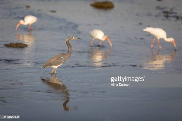 tricolored heron - alma danison stock pictures, royalty-free photos & images