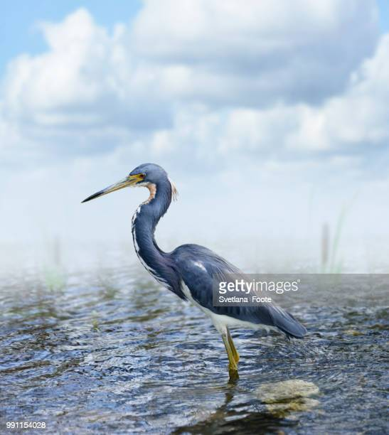 tricolored heron - svetlana stock photos and pictures