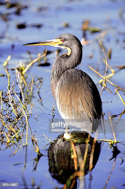 Tricolored heron standing in swamp in Louisiana