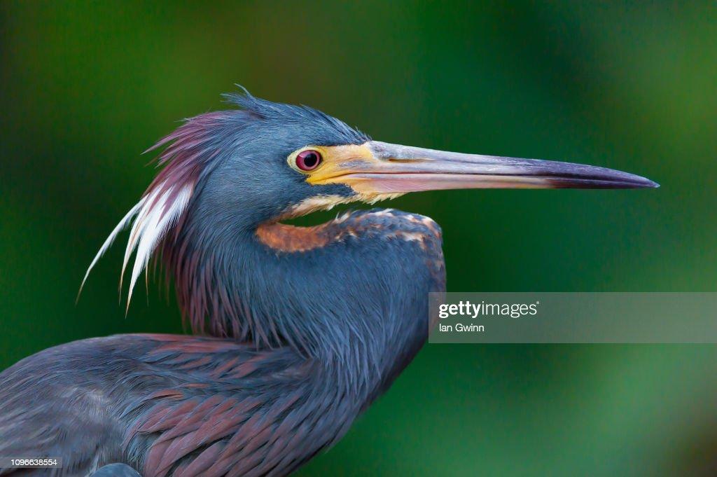 Tri-Colored Heron_1 : Stock Photo