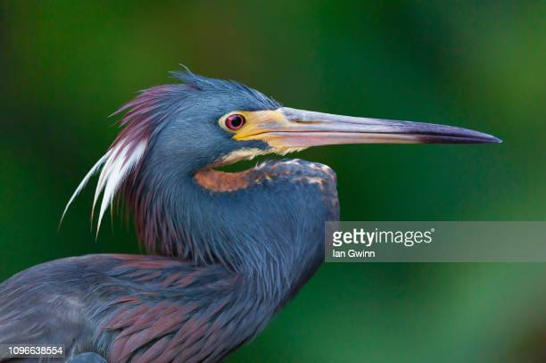 tri-colored heron_1 - ian gwinn stock photos and pictures