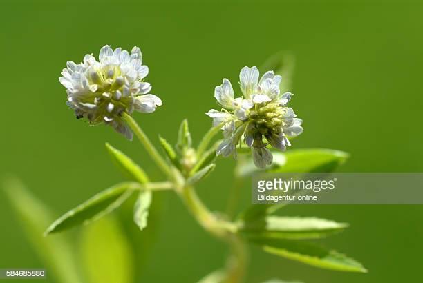 Trigonella caerulea blue fenugreek Medicinal plant and culinary spice
