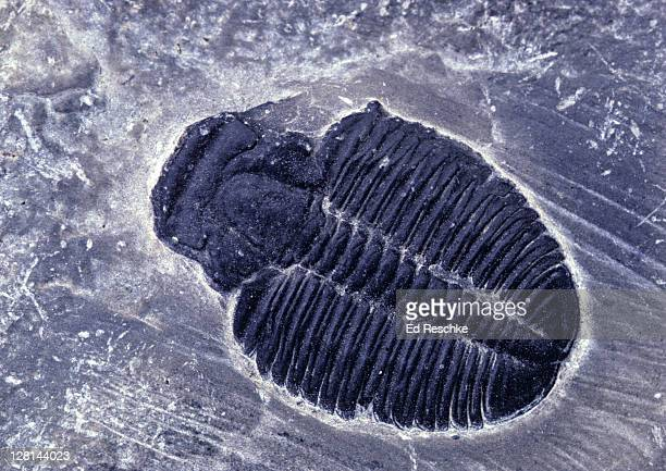 trilobite fossil - ed reschke photography photos et images de collection