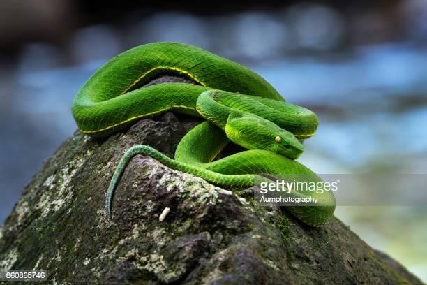 Trimeresurus (Green pit viper)