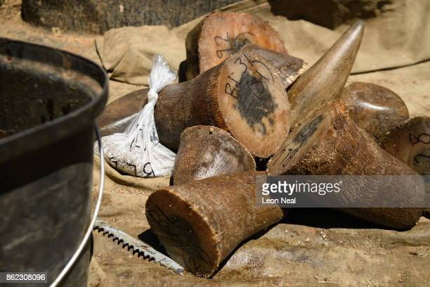 Trimmed rhino horns are seen in the back of a pickup truck after being weighed measured and marked at the ranch of rhino breeder John Hume on October...