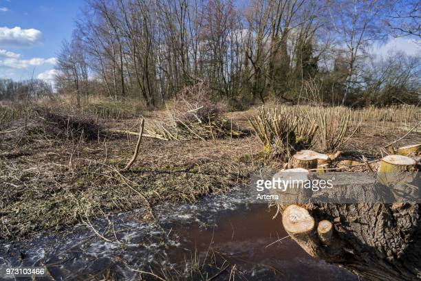 Trimmed willow trees and bundles of cut wood / branches in marshland in winter / spring