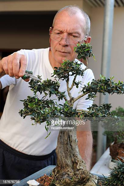 trimming a bonsai - bonsai tree stock pictures, royalty-free photos & images