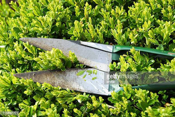 Trimming the boxwood with buxus scissors