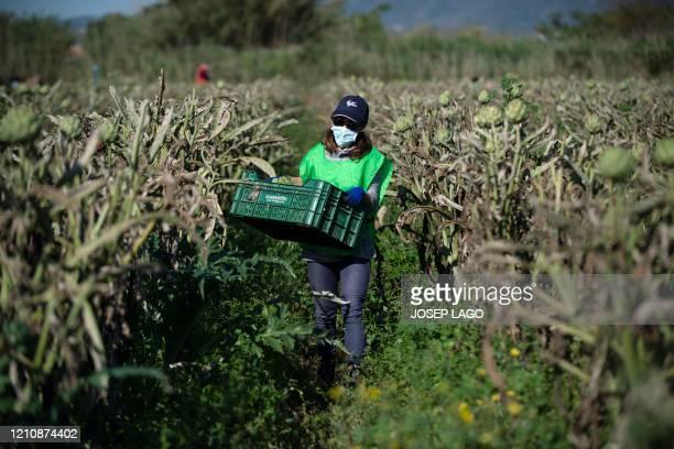"Trini volunteer in the non-profit organisation ""Espigoladors"", works on a local farmer's field of artichokes in El Prat del Llobregat on April 24..."
