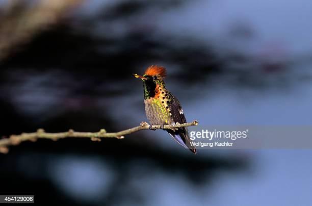 Trinidad Asa Wright Nature Center Tufted Coquette Lophornis ornata