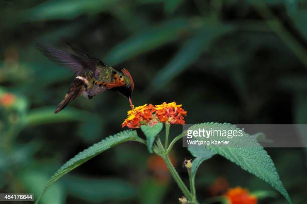 Trinidad Asa Wright Nature Ctr Tufted Coquette On Flower Lophornis ornata