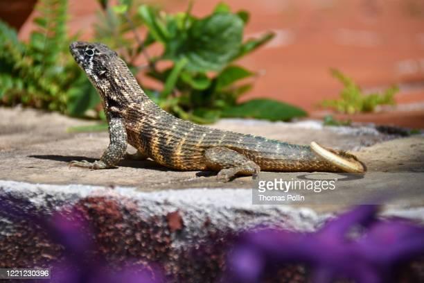 trinidad gecko - sancti spiritus provincie stockfoto's en -beelden
