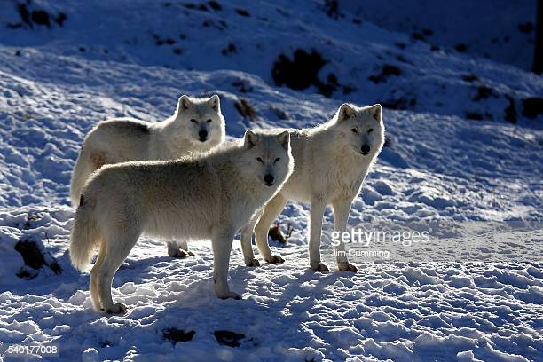 trio of arctic wolves - arctic wolf stock photos and pictures