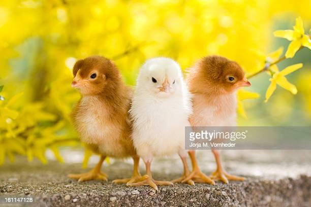 Trio of Baby Chicks