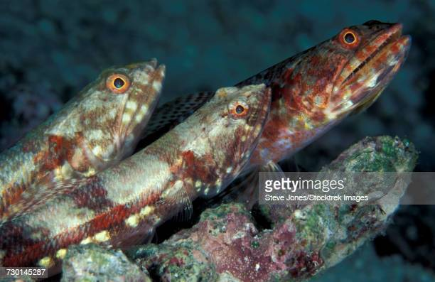 A trio of benthic Gracile lizardfish perched on a rock in the Maldives.