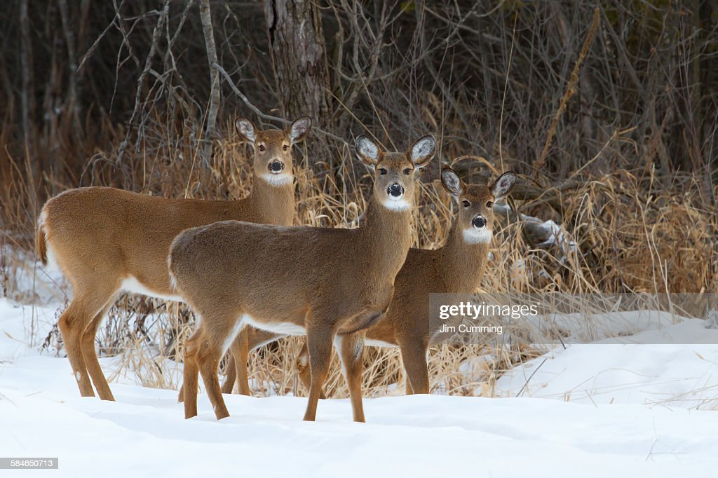 Trio of deer : Stock Photo