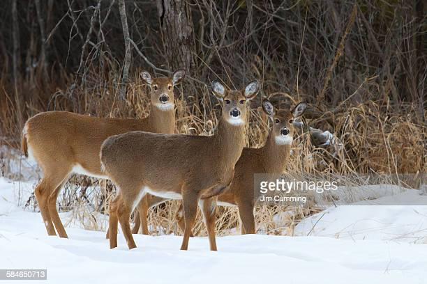 Trio of deer
