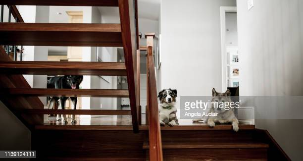 trio of dogs on residential home staircase - angela auclair stock photos and pictures