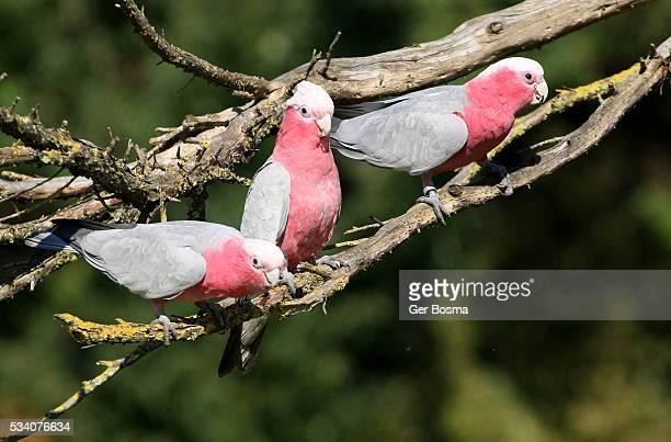 Trio of Galah Cockatoos