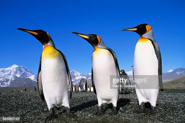 trio of king penguins - royal penguin stock pictures, royalty-free photos & images