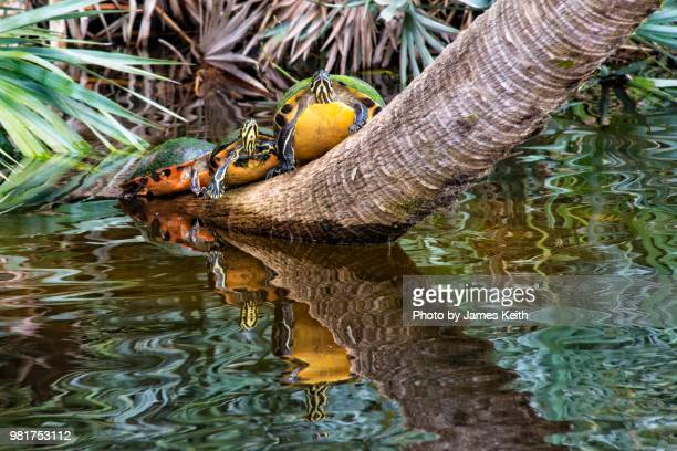 a trio of red bellied turtles straddle the trunk of a leaning palm tree and cast a reflection in the water below. - delray beach stock pictures, royalty-free photos & images