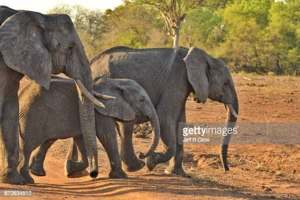 Trio of wild elephants in South Africa