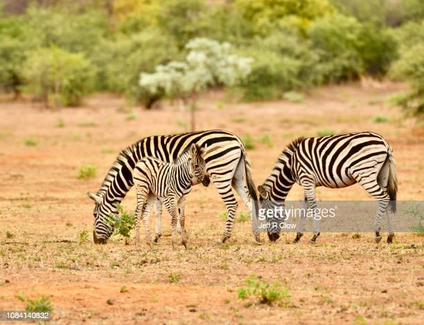 trio of wild zebras in south africa - animated zebra stock pictures, royalty-free photos & images