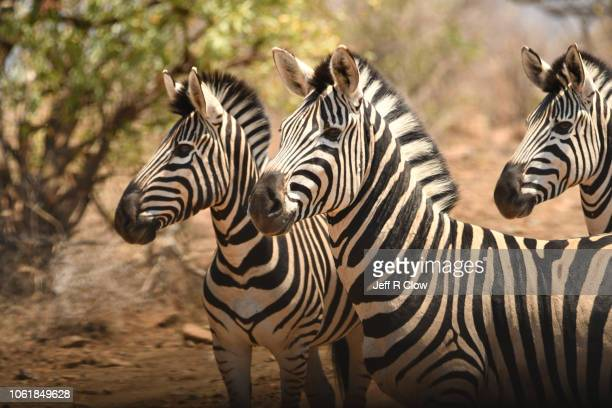 trio of zebras in south africa - animated zebra stock pictures, royalty-free photos & images