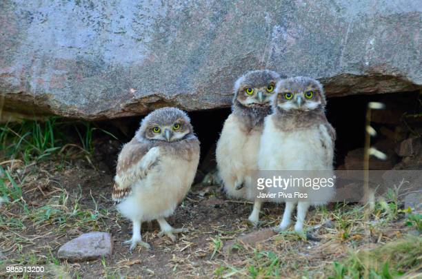 trio - snowy owl stock pictures, royalty-free photos & images